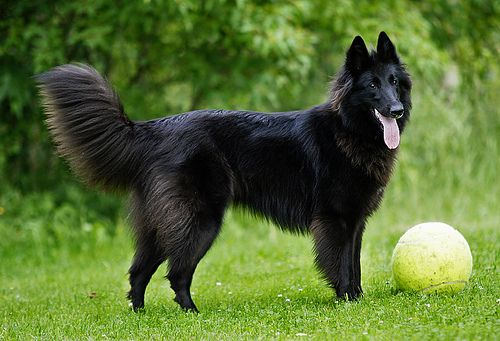 Tail Belgian Shepherd Belgian Shepherd Groenendael Most Beautiful Dogs