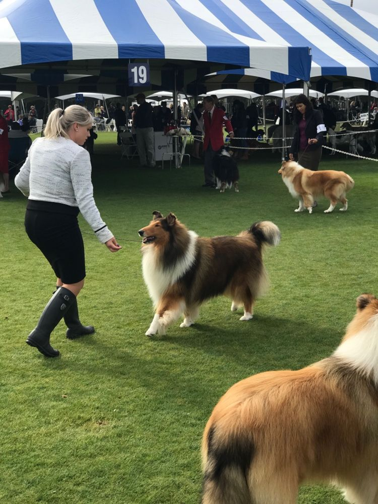 Collie Ring At The Akc All Breed Show Palm Springs Kennel Club