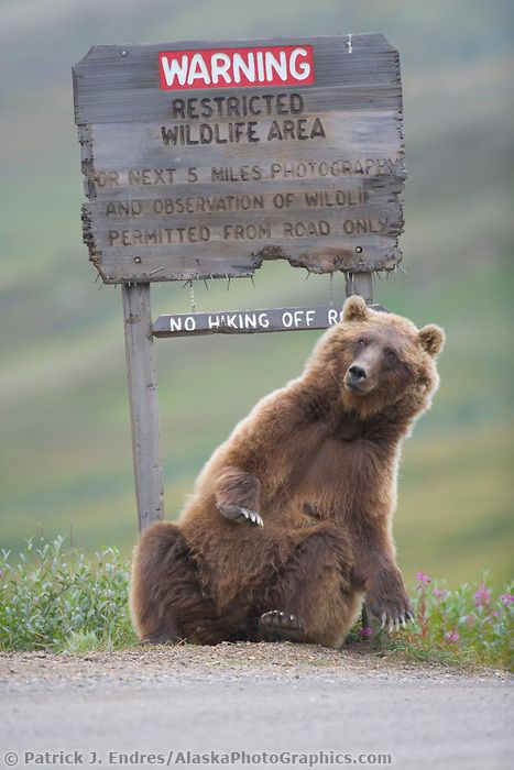 Grizzly bear scratches a roadside sign in Sable Pass, Denali National Park, Alaska   :)