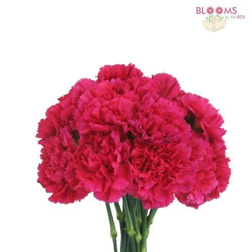 Carnations Hot Pink Fancy Carnation Wedding Flowers Carnation Flower Pink Carnations