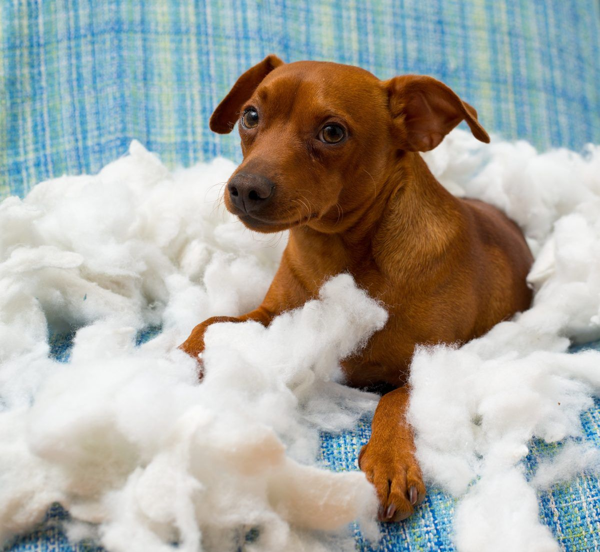 Why Does My Dog Chew His Bed? Dog chews, Coconut oil for