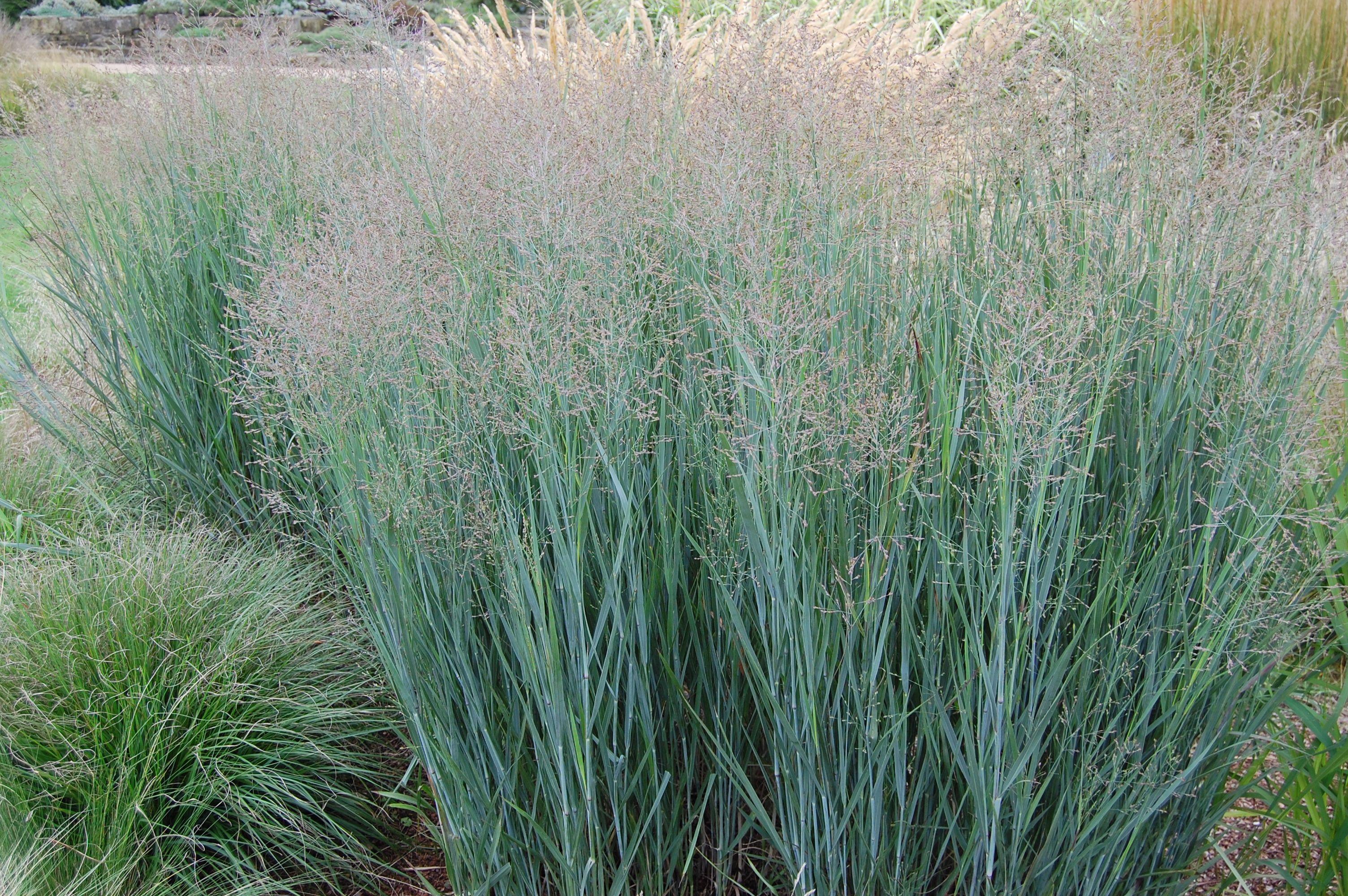 Panicum Virgatum Switchgrass Grass Deciduous Zones 5 9 4 X 3 Us And Great Lakes Native Sun L Grass For Sale Ornamental Grasses Warm Season Grass