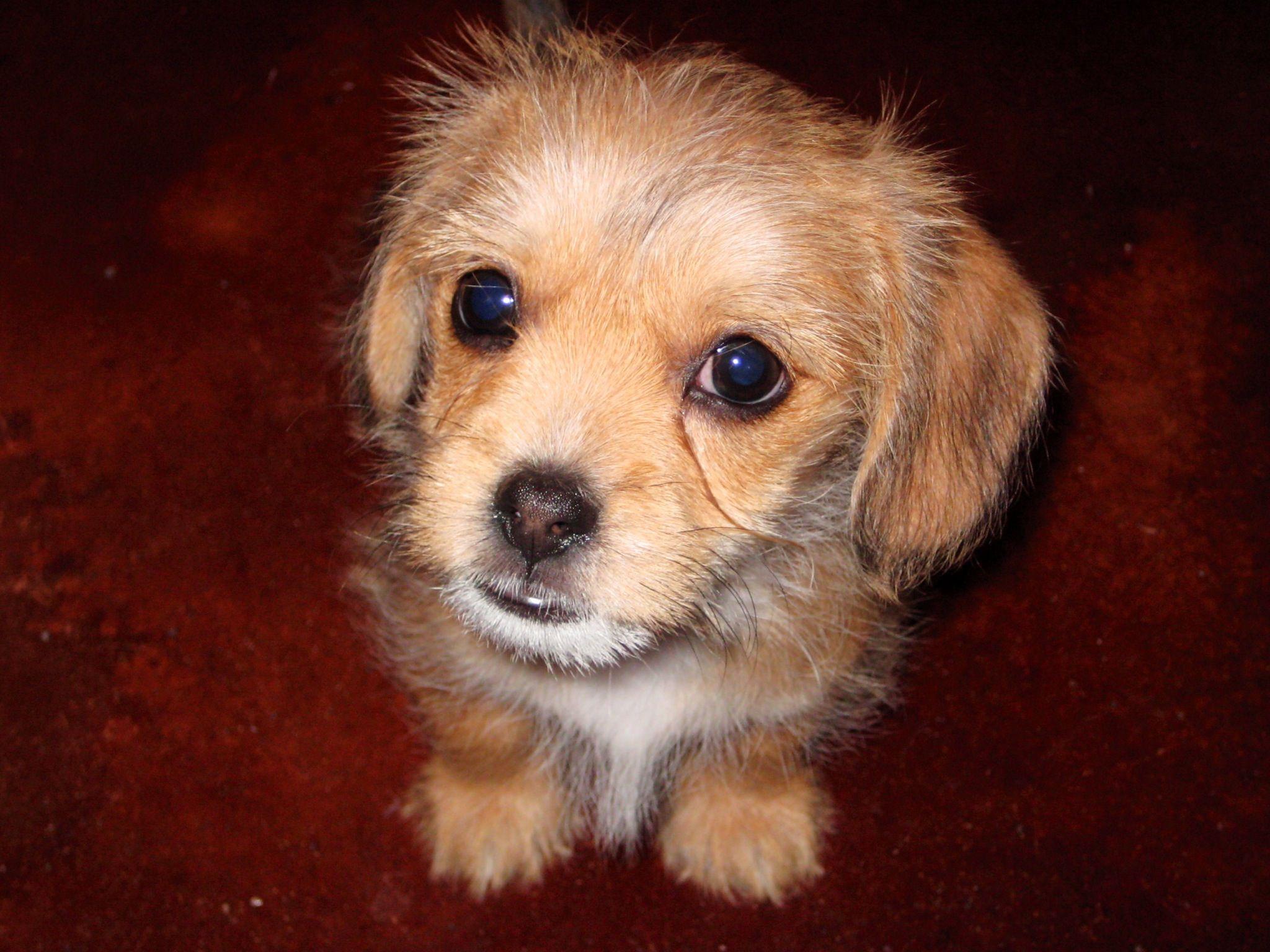 Schweenie Puppy Schweenie Dachshund Mix Dachshund