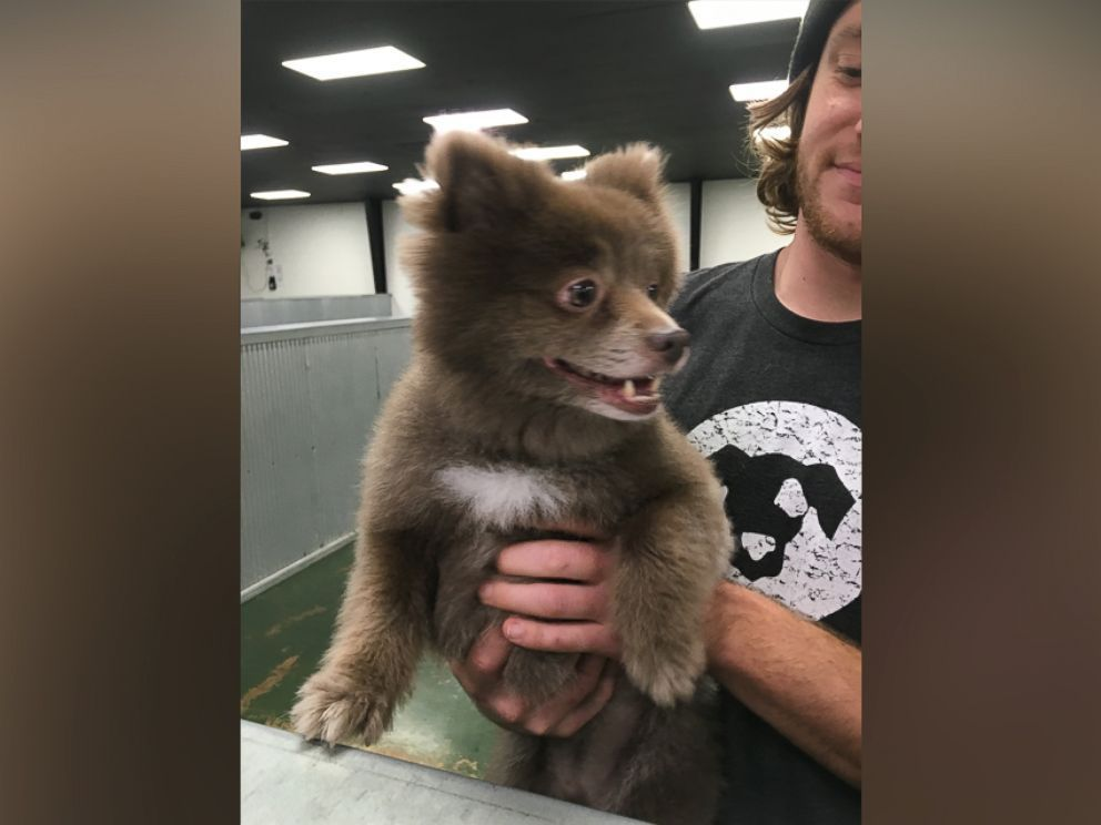 The Mystery of This Adorable 'Bear Dog' Has Been Solved #animalcaptions PHOTO: Bounce, a Pomerian-mix dog, has taken the Internet by storm after a photo of her was posted to Reddit with the caption, Somebody brought this bear into doggie day care on Dec. 29, 2015. #animalcaptions