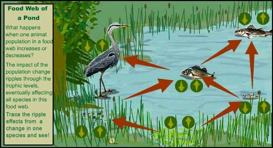 food web of a pond what other indirect relationships