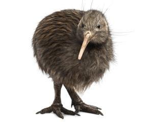 Lifespan Kiwi Bird Animals Bird