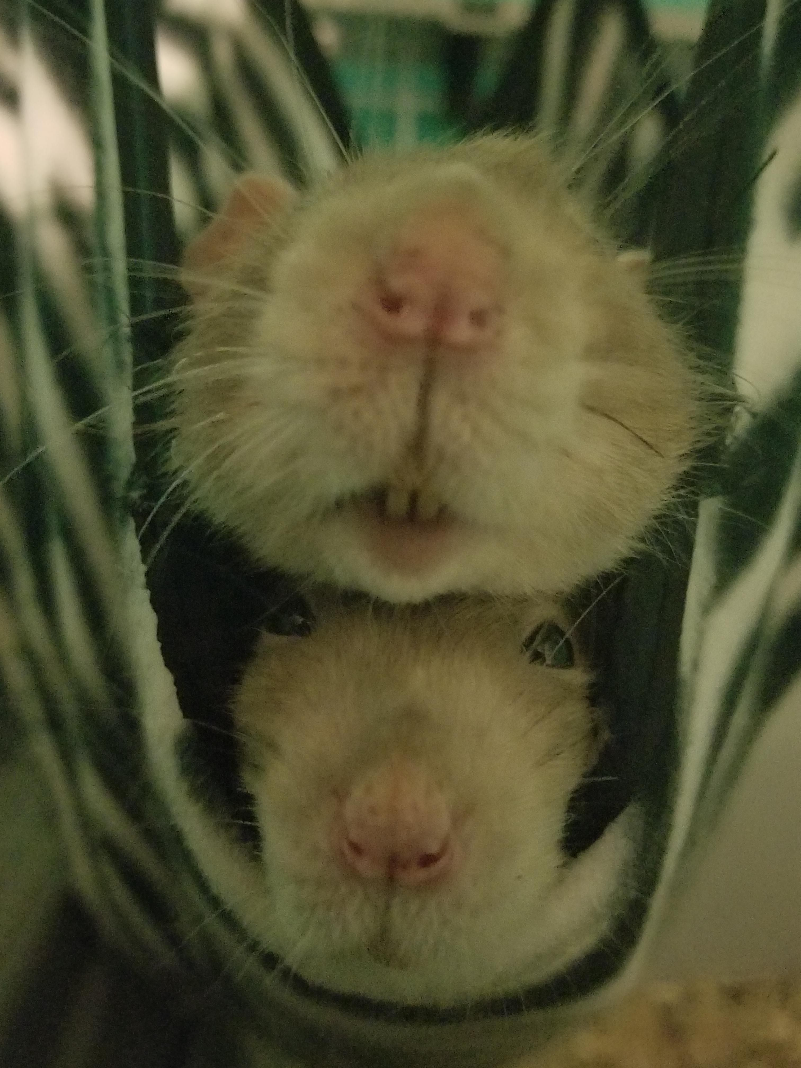 Burrito Boyies Aww Cute Rat Cuterats Ratsofpinterest Cuddle Fluffy Animals Pets Bestfriend Ittssofluffy Boopthesnoot Cute Rats Pet Rats Small Pets