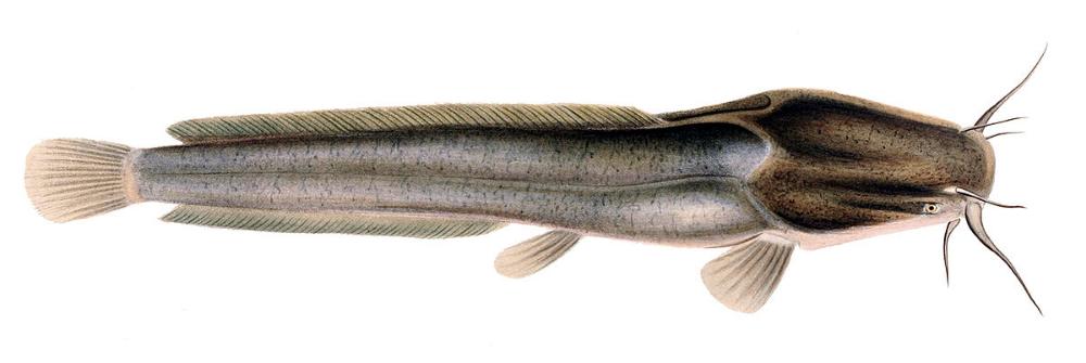 Clarias Okavango Google Search In 2020 Fish River Monsters Catfish