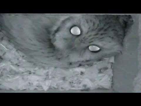 haunting eastern screech owl calls ! - youtube | cats and owls