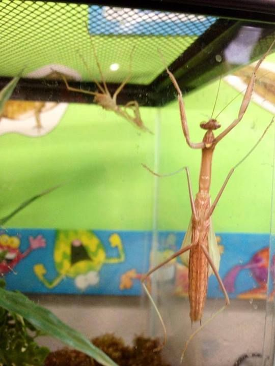 Q How Many Times Does A Praying Mantis Shed Its Skin Answer A Praying Mantis Will Shed Its Skin Or Exoskeleton 6 Times Praying Mantis Pray Flower Garden