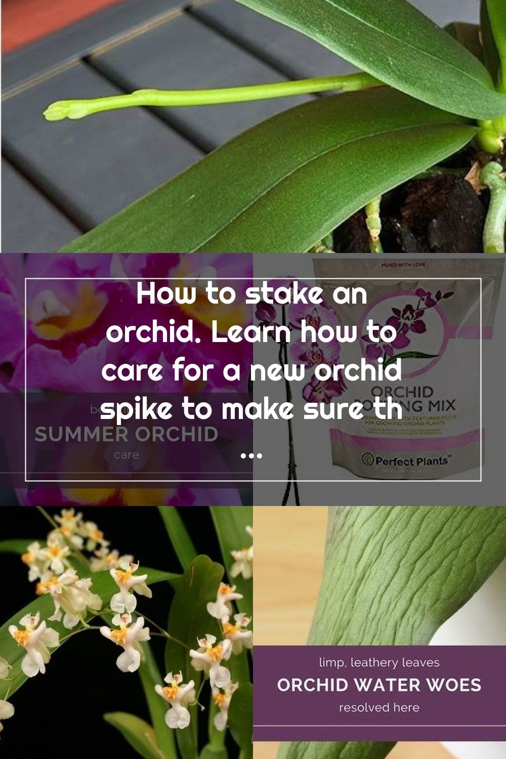 How To Stake An Orchid Learn How To Care For A New Orchid Spike To Make Sure The Blooms Are Spectacular I Love Phalaenopsis In 2020 Orchid Care Orchids Flower Spike