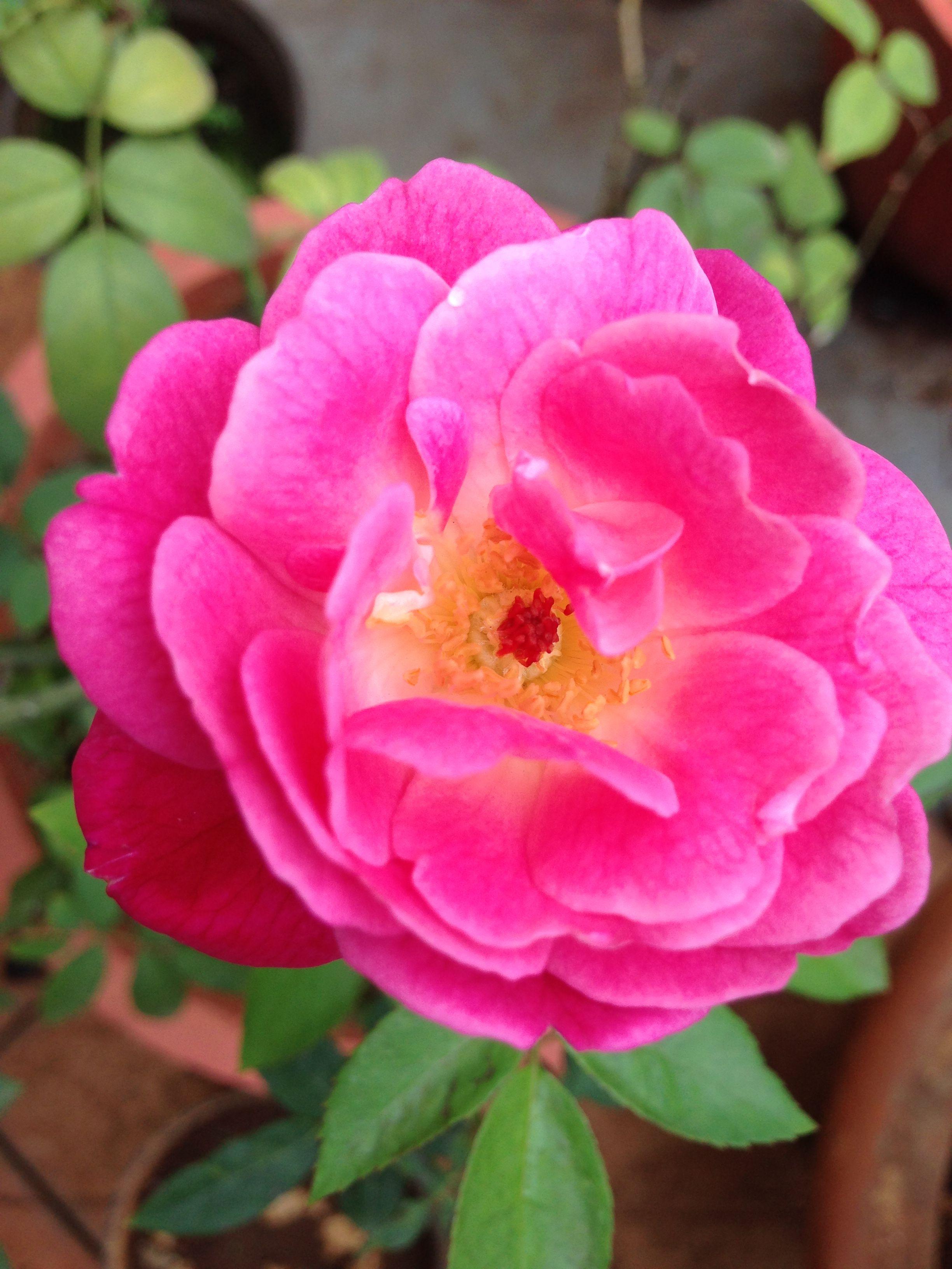 Pin By Shruti Karambelkar On Plants For Home Garden Planting Roses Indoor Roses Plant Plant Decor Indoor