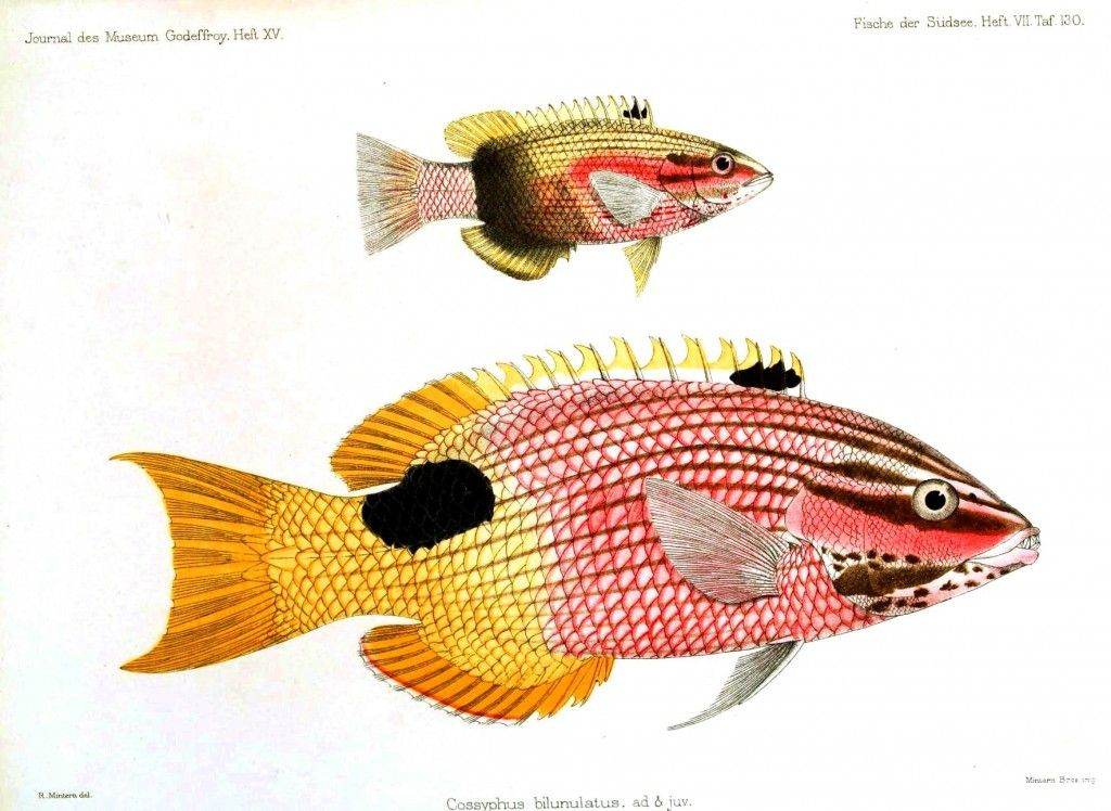 Animal - Fish - Pinkish with yellow