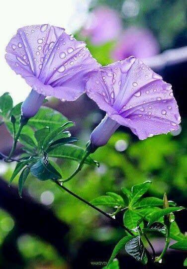 Light Purple Morning Glories Campanilla Pero Les Digo Que Ni Siquiera Salomon En Toda Su Gloria Morning Glory Flowers Purple Flowers Types Of Purple Flowers