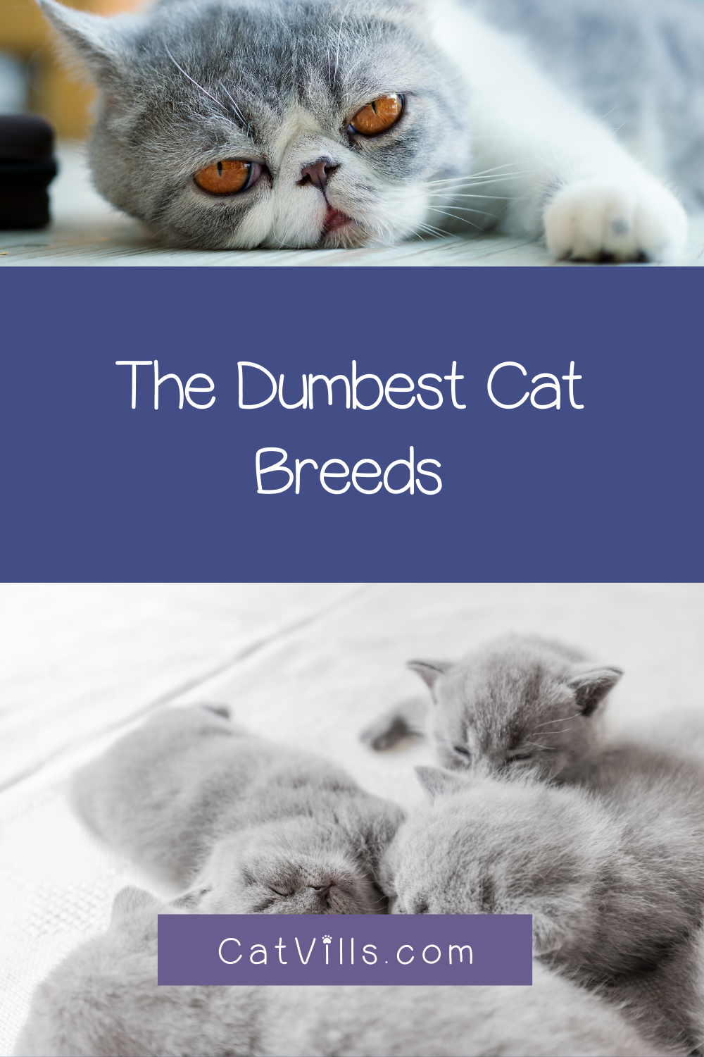 6 Dumbest Cat Breeds According To Humans Catvills In 2020 Dumb Cats Cat Breeds Cats