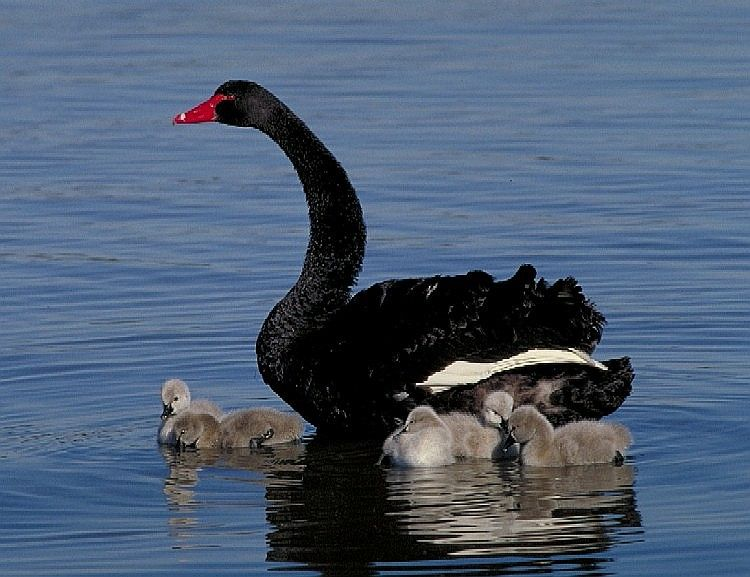 black swan animal - photo #9