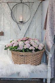 Magical Hortensia er   ankommet huset denne uken...   Åhh !Kjære tiiid de er bare vakre !               Steller man den riktig...