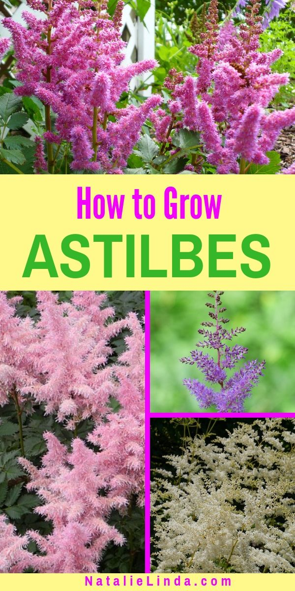 How to Grow Astilbes in Your Garden #shadeplantsperennial