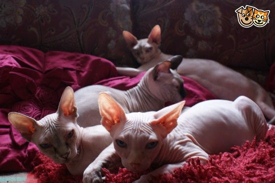 Gorgeous Boy Sphynx Kitten For Sale Leicester Leicestershire Pets4homes Sphynx Cat Rex Cat Cat Lovers