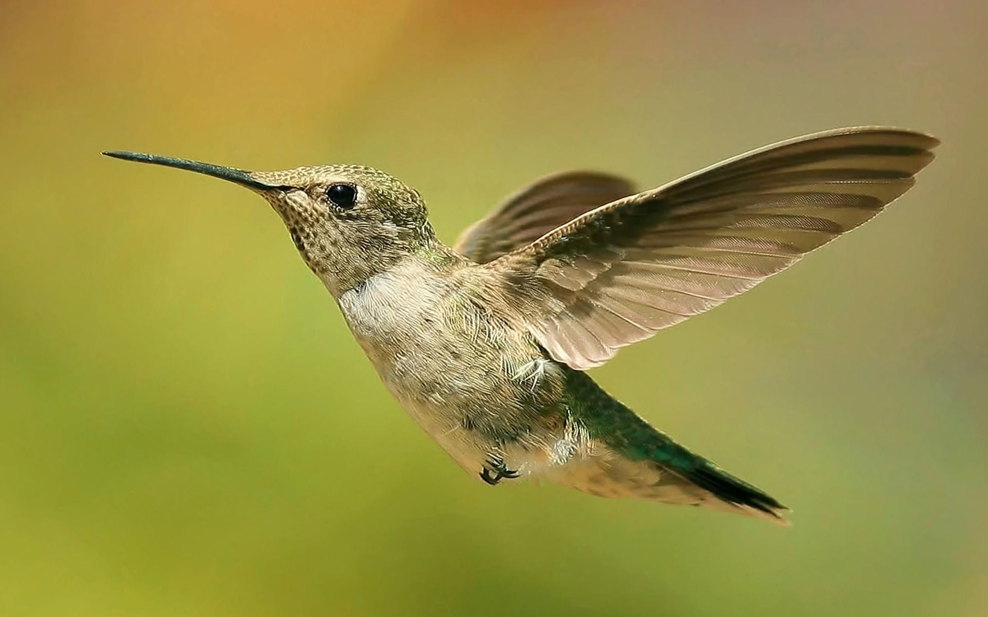 colibries, sobran las palabras | animal