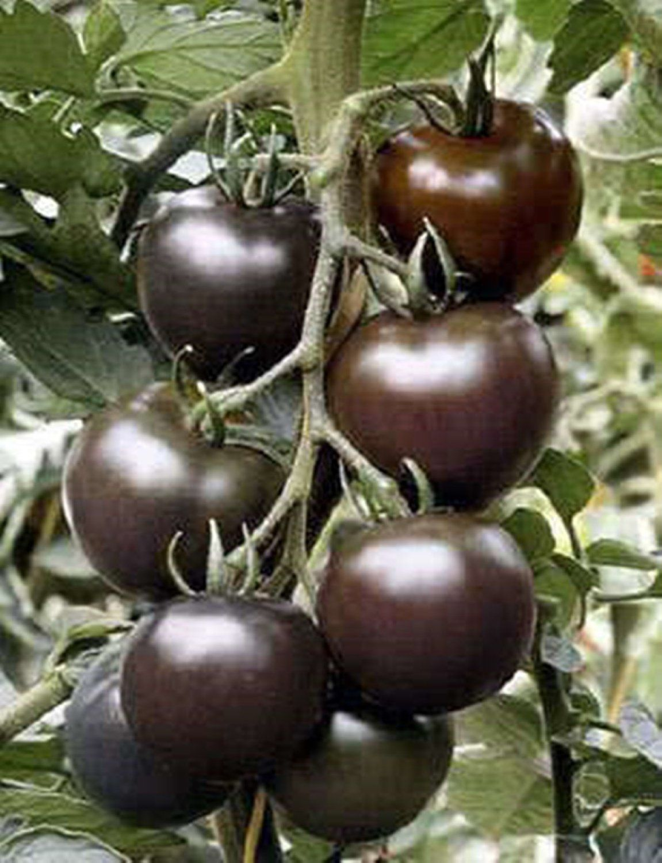 black cherry tomato seeds rare russian variety 30 seeds vegetable plants. Black Bedroom Furniture Sets. Home Design Ideas