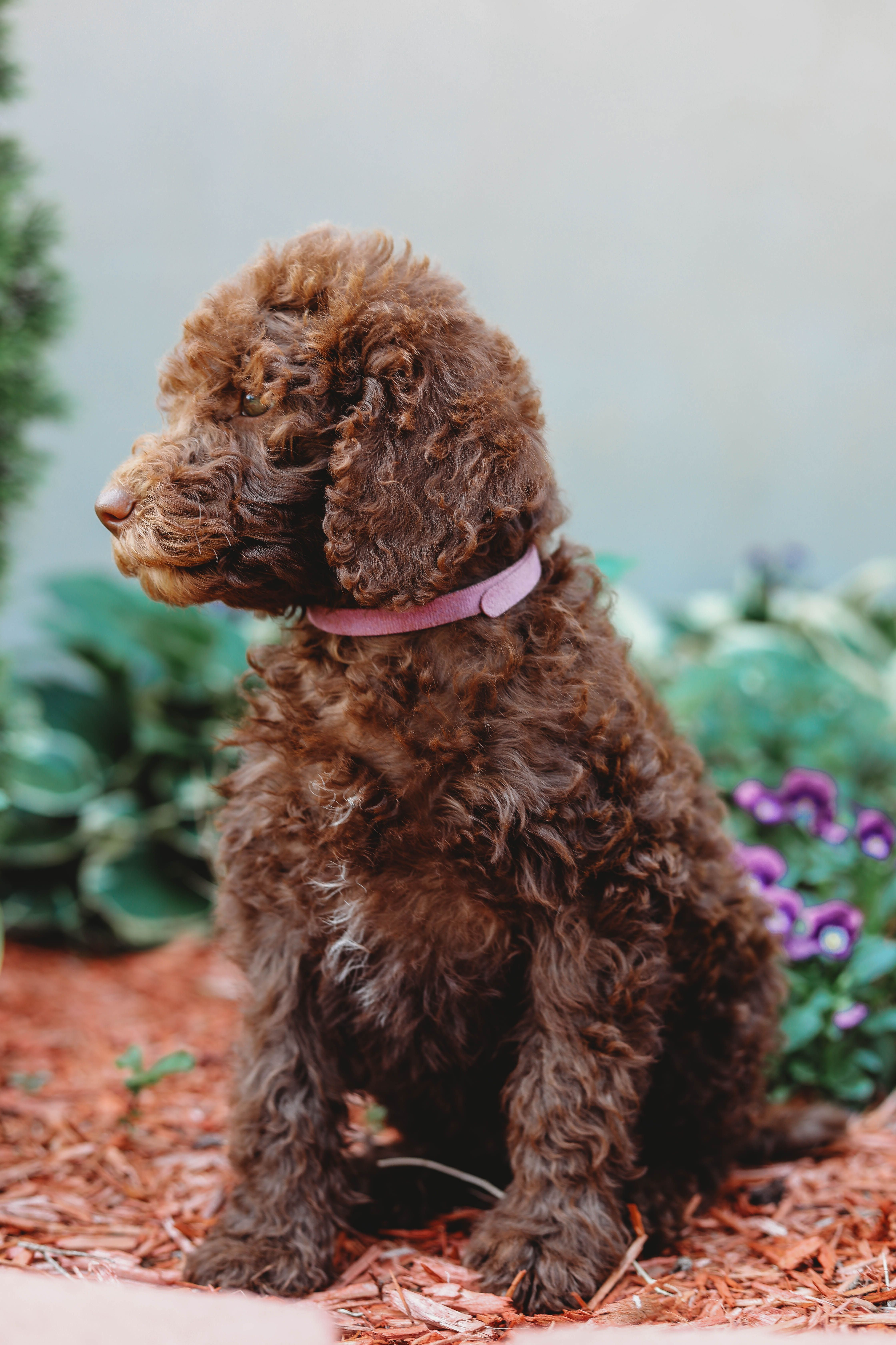 This Is Jasmine She Is A Labradoodle Female Enrolled In Our
