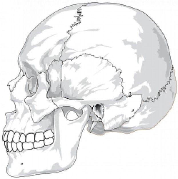 Resultado de imagen para craneo humano frontal dibujo | Cráneo ...