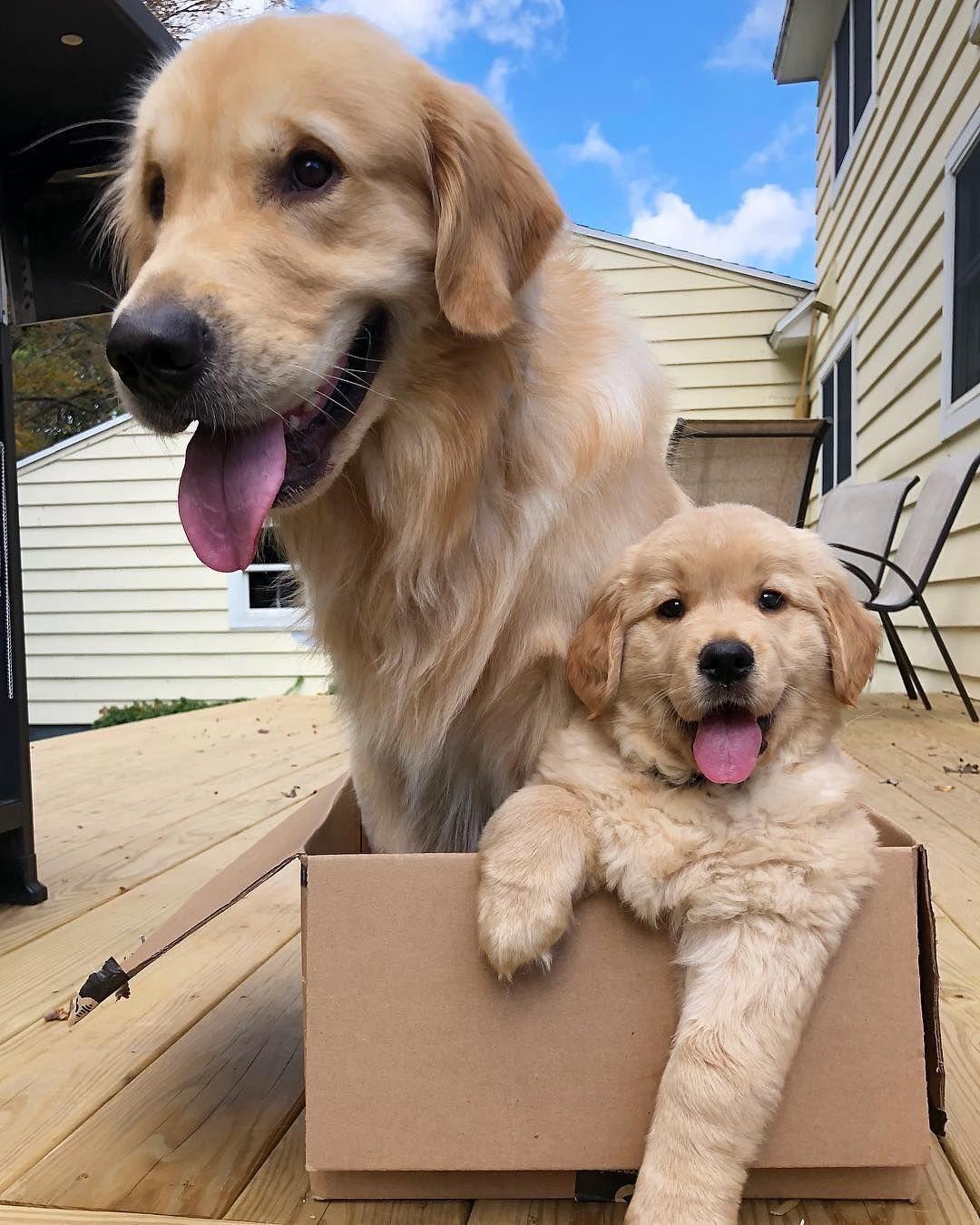 Goldenretriever Dogmom Dogs Puppies Petlove Family Love Cute