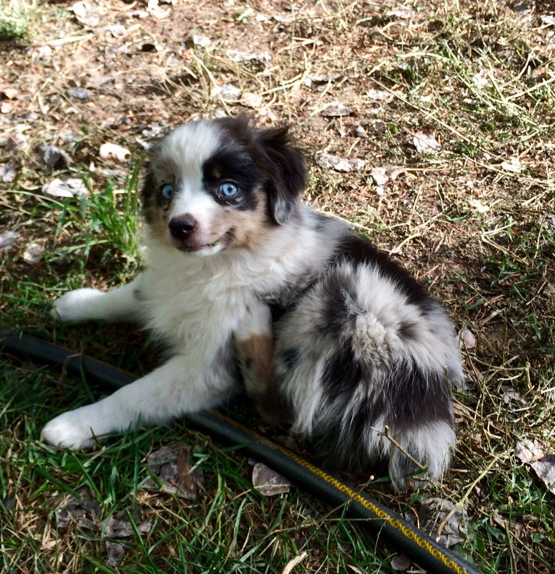 Blue Merle Toy Size Female 2 Blue Eyes 12 Weeks Found Home Australian Shepherd Puppies Miniature Australian Shepherd Puppies Miniature Australian Shepherd
