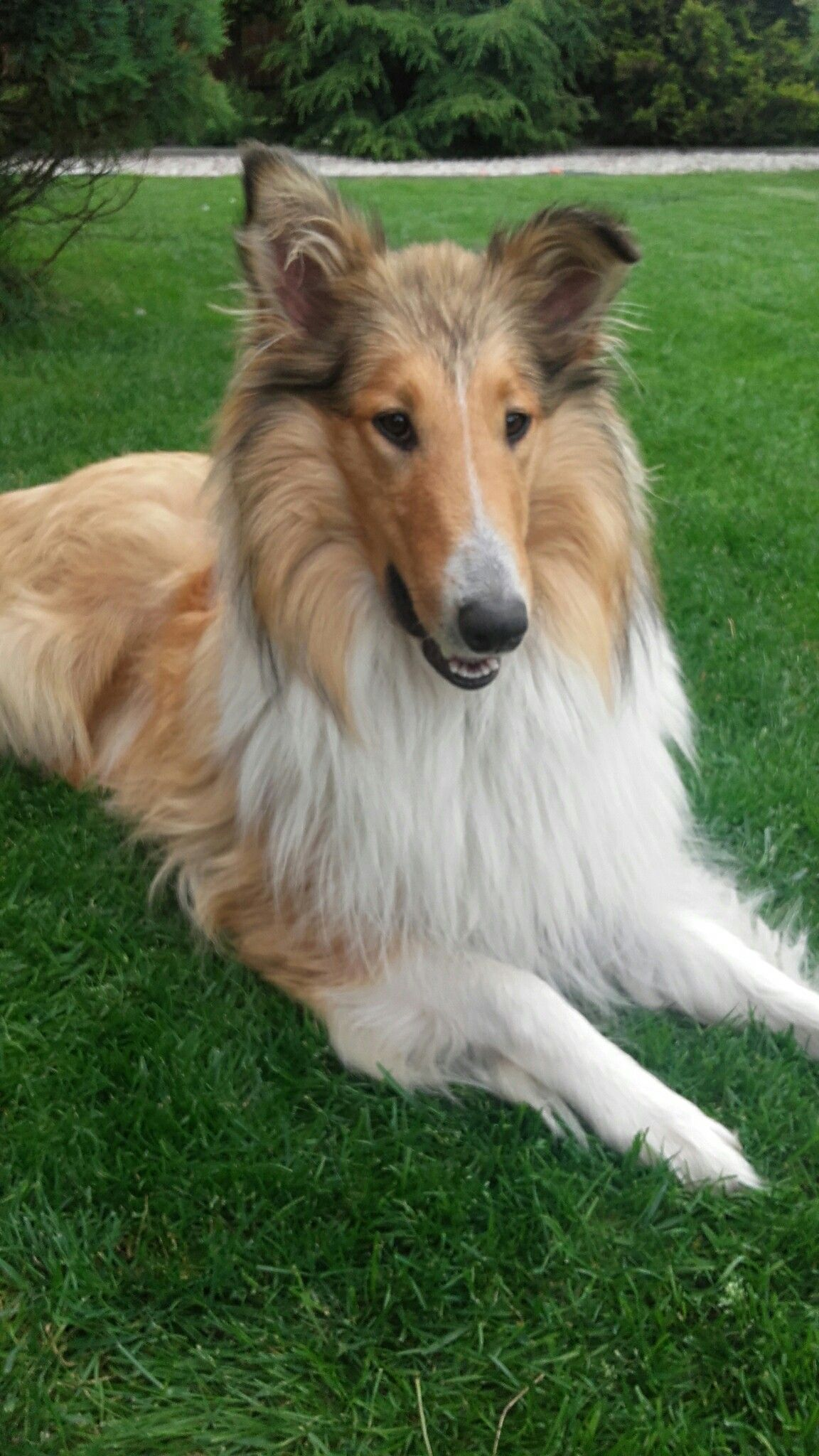 Pin By Nancy Hughes On Collie Rough Collie Puppy Rough Collie