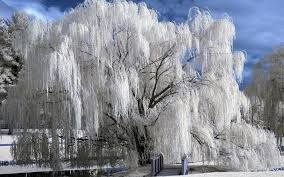 Winter Willow Tree Tree Winter Wallpaper Winter Wallpaper Winter Trees