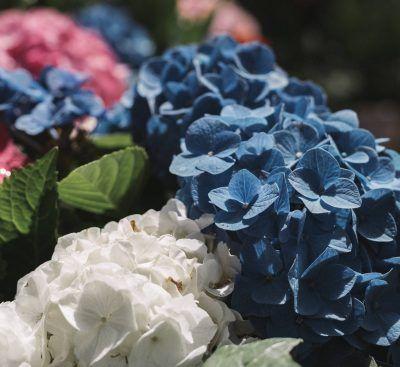 16 ideas de jardines de hortensias de ensueño