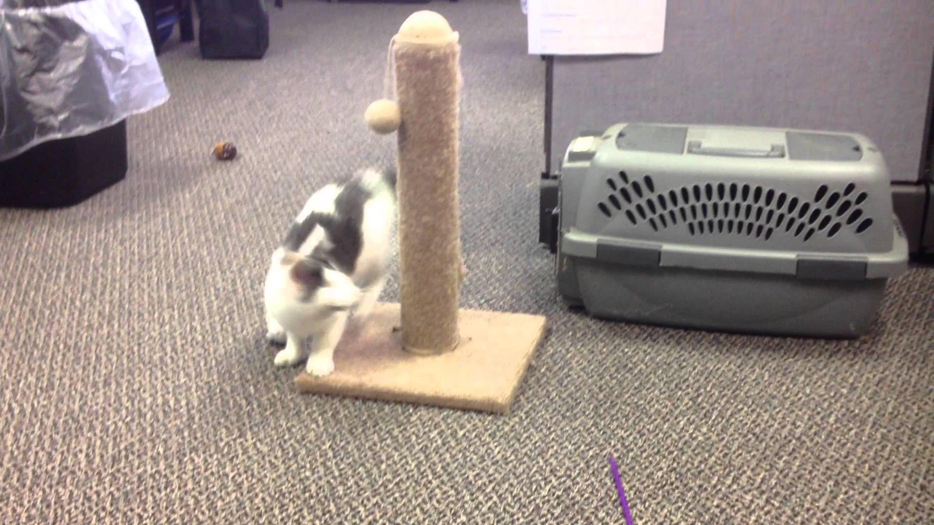 Jasper Blind Kitten Playing Kittens Playing Kitten 12 Week Old Kitten