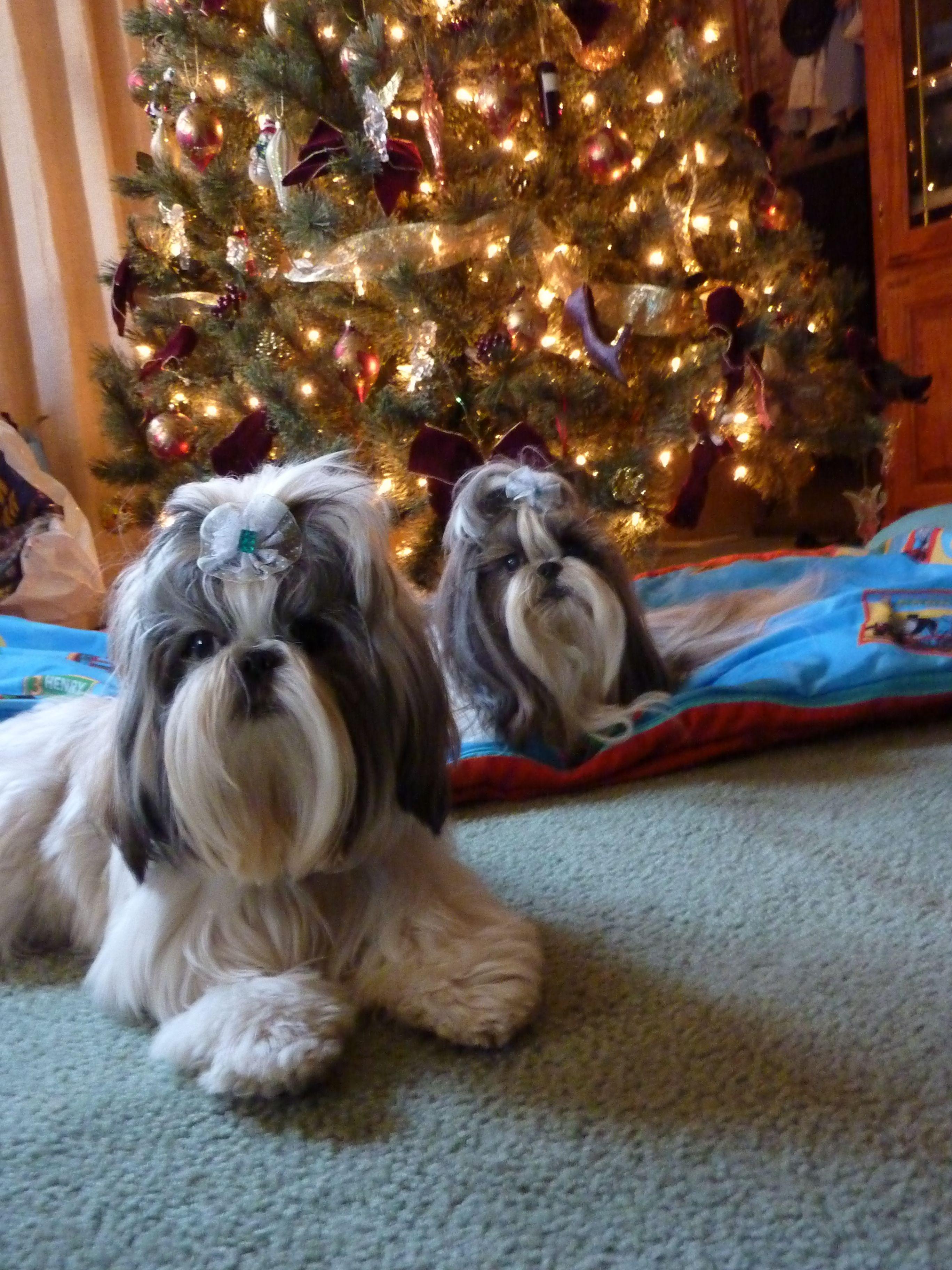 My Christmas card. HaiLi and Kabre #ShihTzu #Christmas | Shih Tzu ...