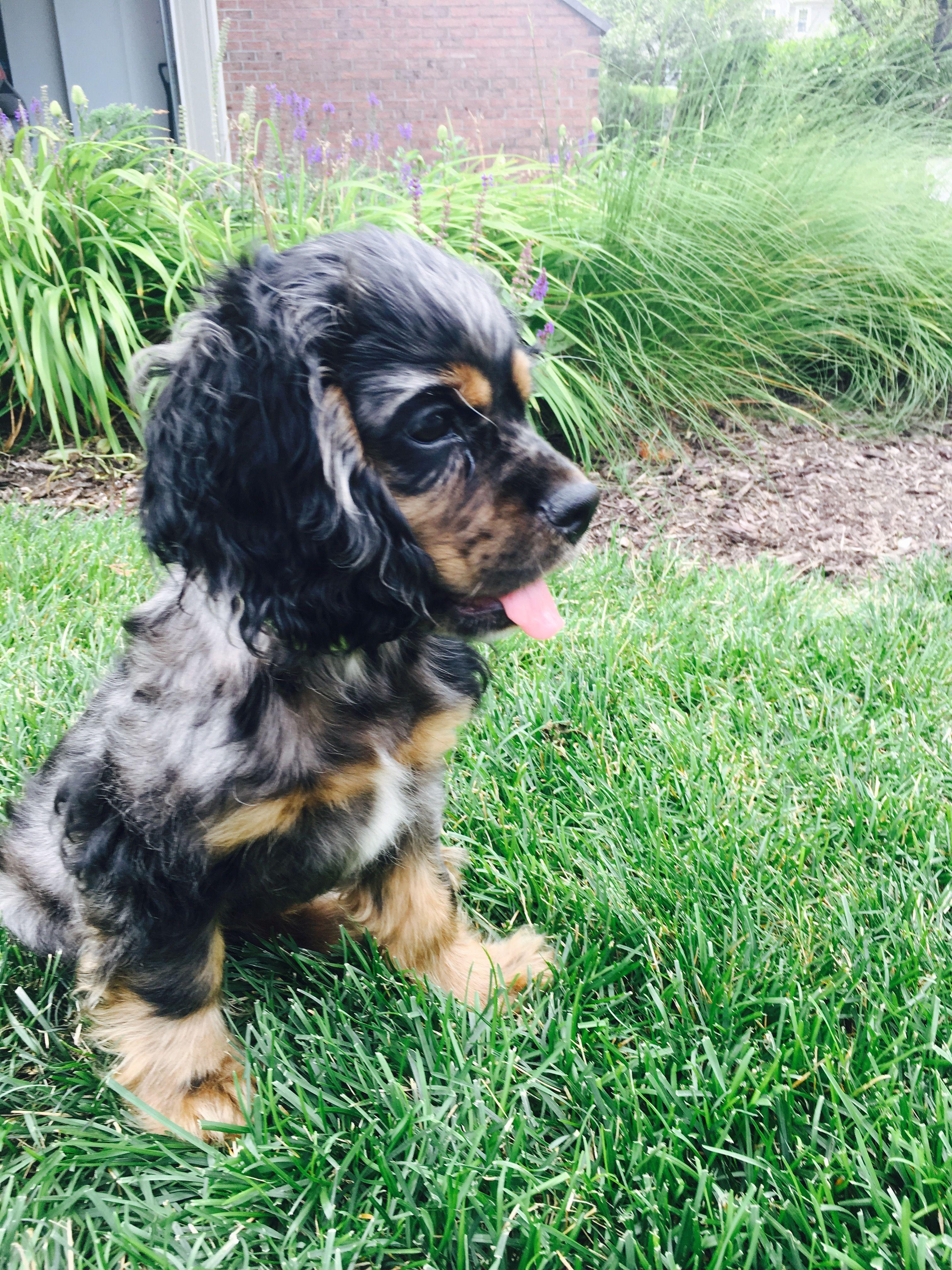 Mini Cocker Spaniel Puppy For Sale References
