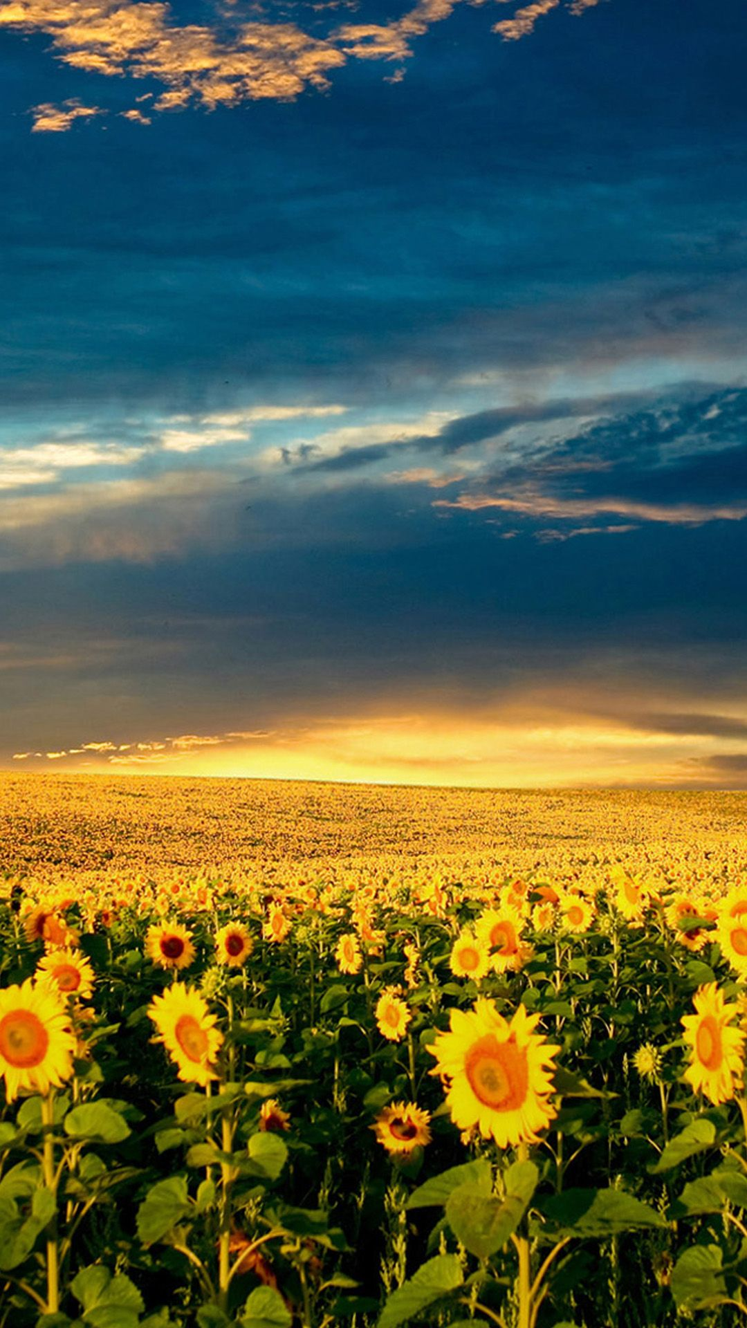 Nature Splendid Vast Sunflower Field IPhone 6 Wallpaper