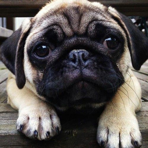 Pug Face Love Love Love That Face Pugs Funny Pugs Cute Pugs