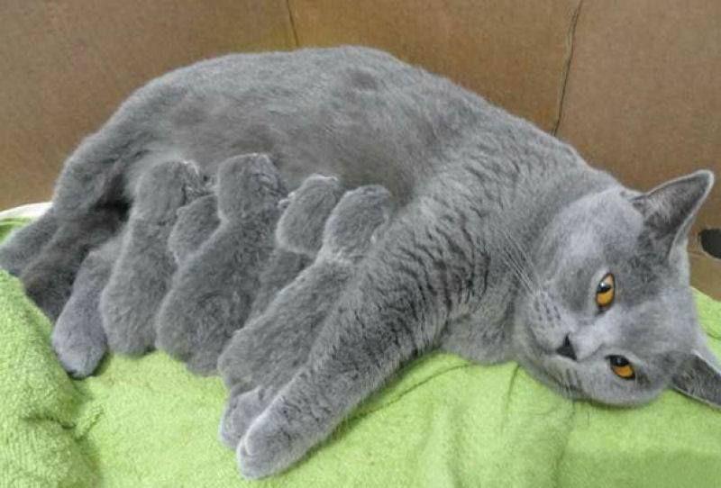 Pin Von Mila Auf Amazing Moms Blaue Katzen Hubsche Katzen Susseste Haustiere