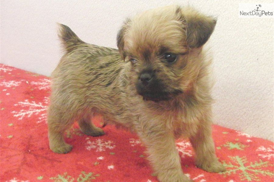 Brussels Griffon Puppies For Sale Brussels Griffon Puppy For Sale Near Dallas Fort Worth Texas B0e2780 Brussels Griffon Puppies Brussels Griffon Puppies