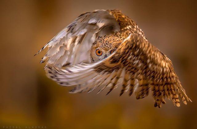 Flying Owl #photgraphy #nature #animal