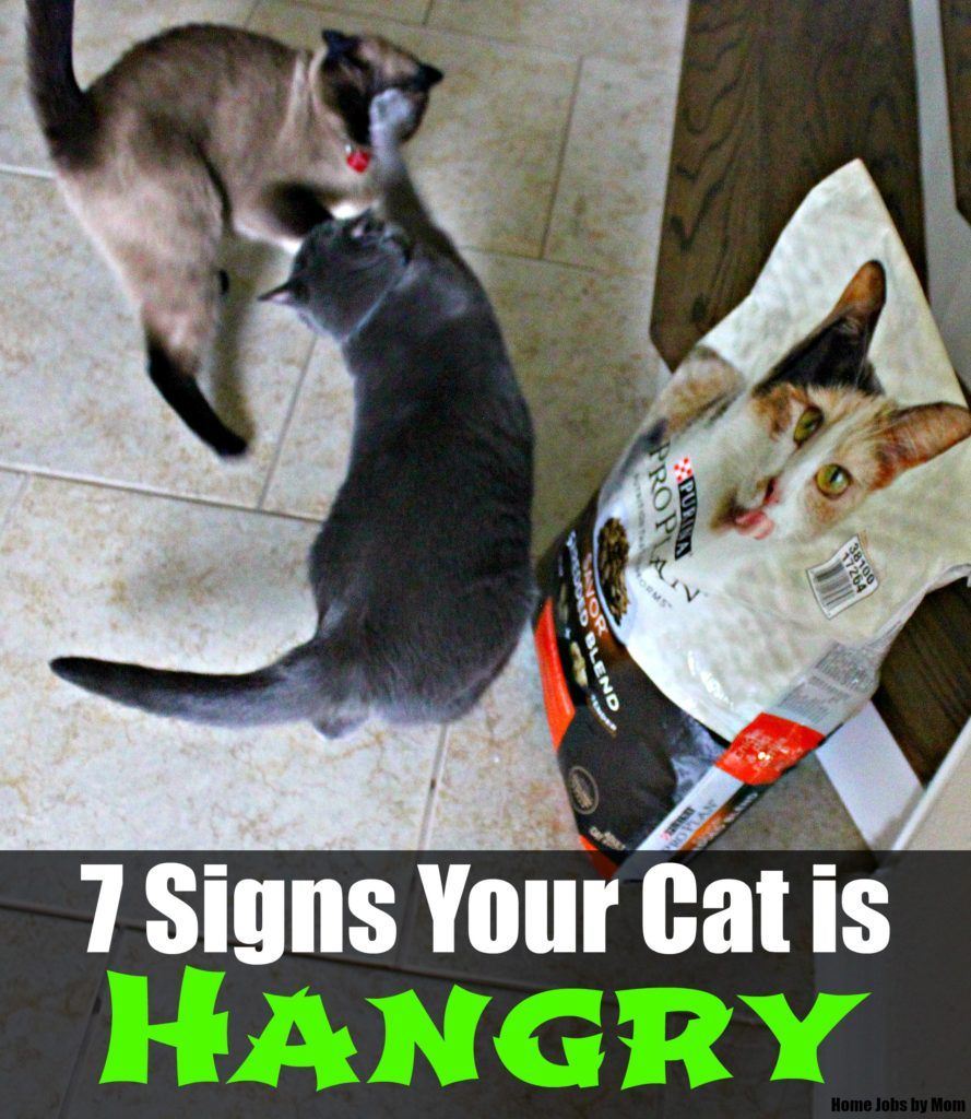 7 Signs Your Cat is Hangry Cats, Cat signs, My animal