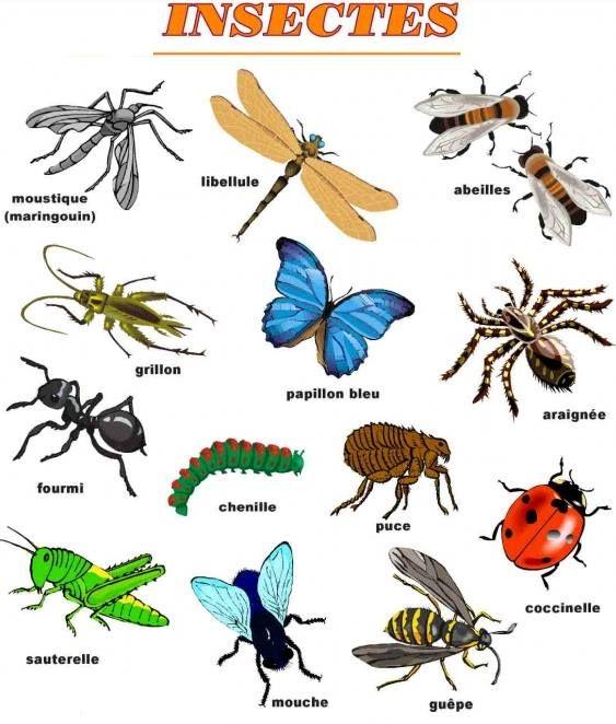 les insectes le francais pinterest insectes vocabulaire et fle. Black Bedroom Furniture Sets. Home Design Ideas