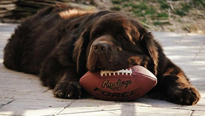 Newfie playing football;)
