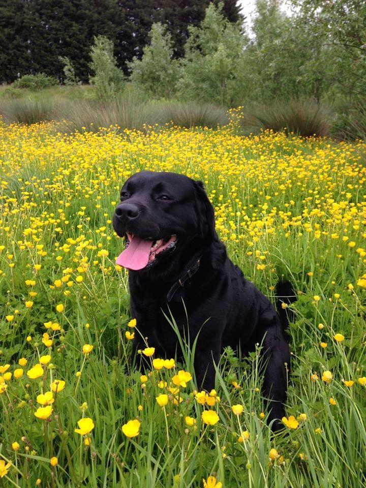 Pin By Amanda Bamforth On Labradors No Pin Limits Black Lab Dogs Labrador Retriever