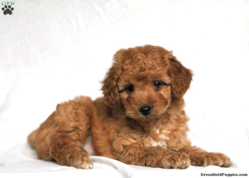Shorkie Poo Puppies For Sale Greenfield Puppies In 2020 Schnoodle Puppy Schnoodle Poodle Puppies For Sale