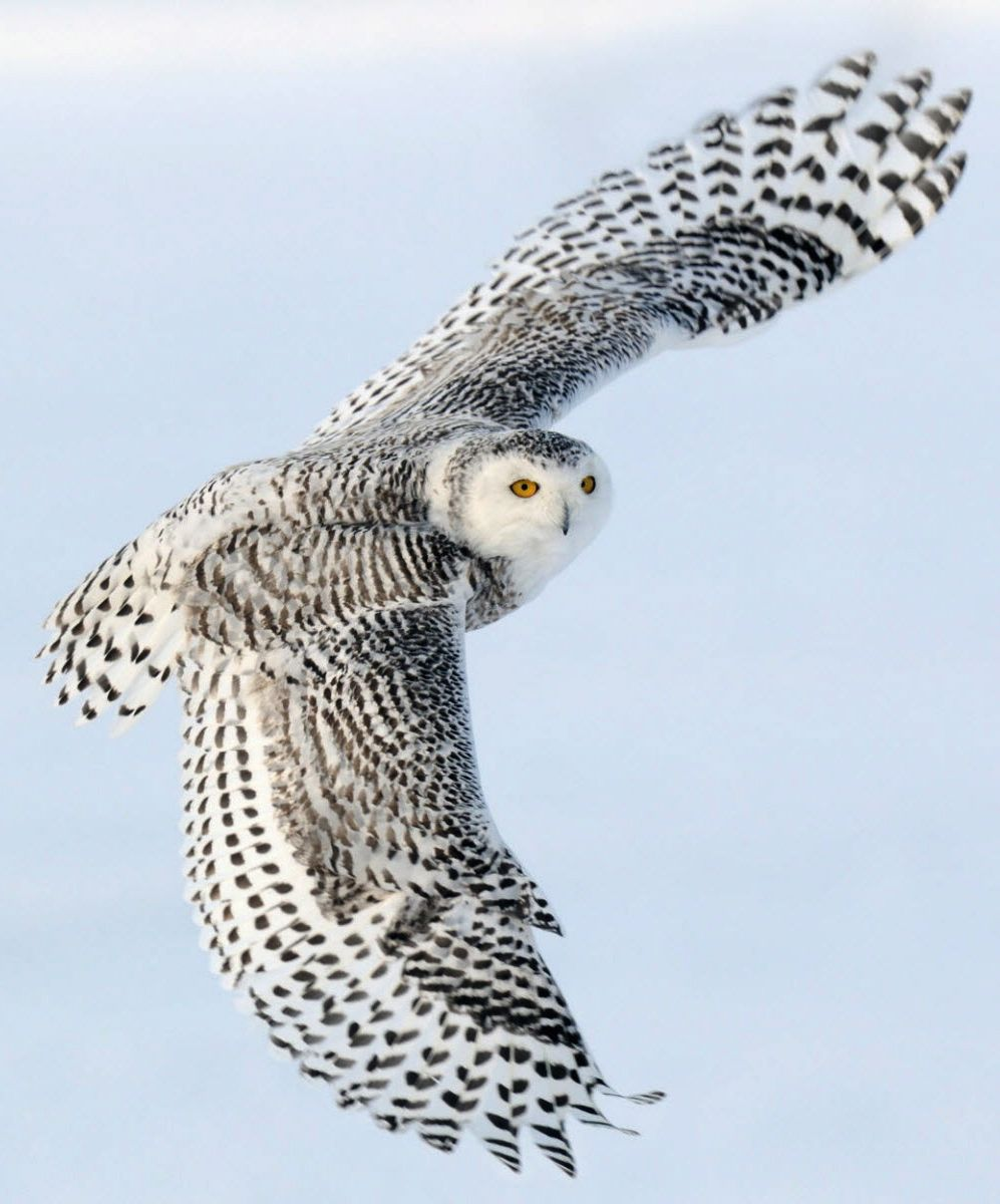 Large White Owl Coming in to Land Framed Print Picture Poster Animal Bird Art
