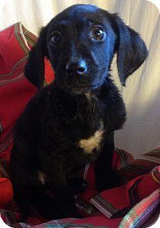 Sunbury Oh Labrador Retriever Hound Unknown Type Mix Meet Eli A Puppy For Adoption Kitten Adoption Puppy Adoption Labrador Retriever Mix