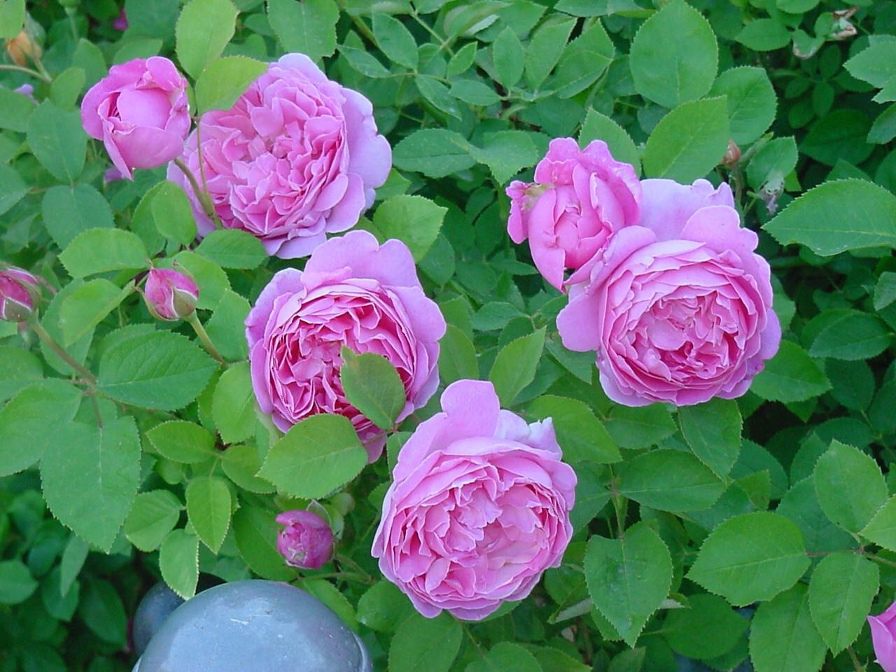 david austin 39 mary rose 39 rose flowers pinterest. Black Bedroom Furniture Sets. Home Design Ideas