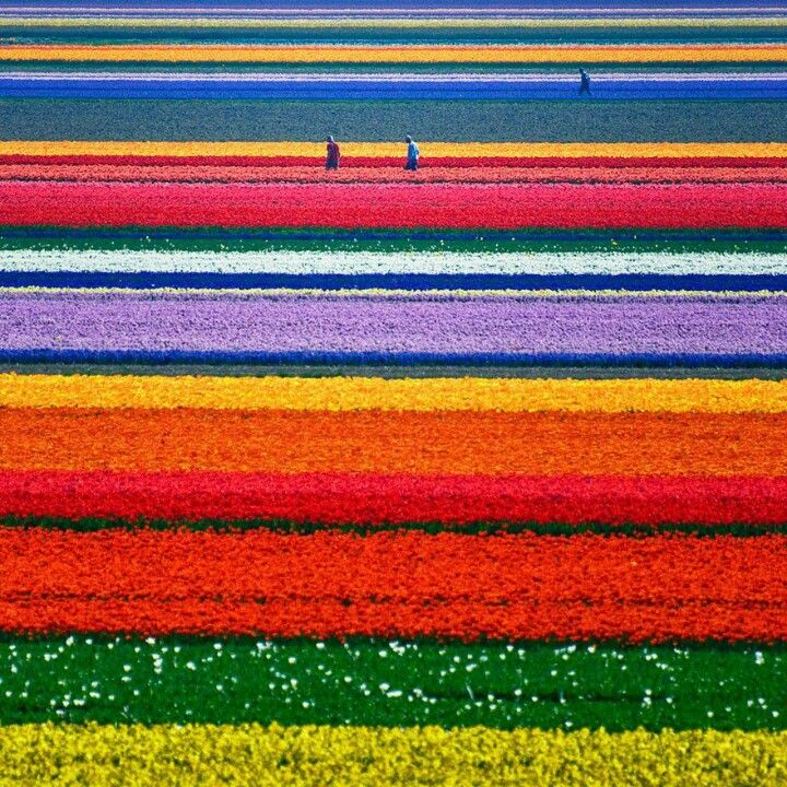 Tulips in the Netherlands