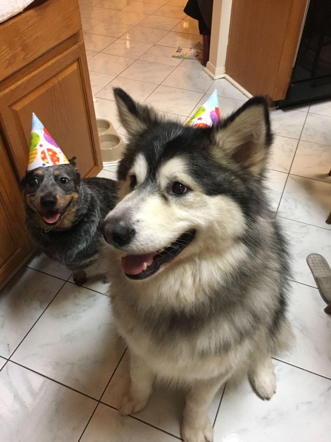 It was my hoomans birthday Dogs Wearing Hats